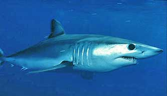 Mako shark in nature