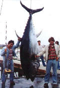 Tuna Fishing on the Stellwagen Bank